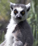 Male ring-tailed lemur Royalty Free Stock Image