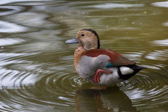 Male ringed teal in the bird park on Bali island Stock Photo