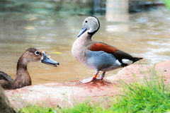 Male ringed teal Callonetta leucophrys. A male ringed teal Callonetta leucophrys standing next to a female Rosy-billed Pochard in the water Royalty Free Stock Images