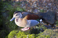 Male Ringed teal Stock Image