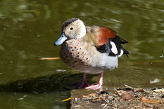 Male Ringed Teal who sits on the shore of lake Royalty Free Stock Photos