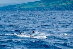 Risso`s dolphins Stock Images