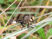 Male robber Fly Royalty Free Stock Photography