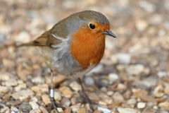Male Robin. A male robin with is feathers ruffled by the wind Royalty Free Stock Image