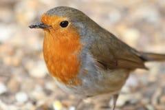 Male Robin. A portrait of a male robin redbreast Stock Photo
