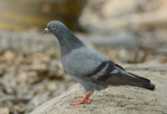 Male Rock Pigion (Columba livia) Royalty Free Stock Image