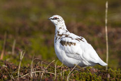 Male Rock Ptarmigan in fall tundra in winter Stock Images