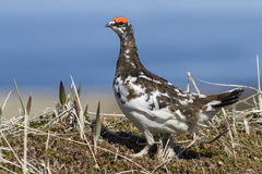 Male Rock Ptarmigan in spring outfit that stands in the. Tundra Stock Photos