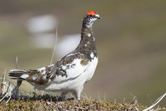 The male Rock ptarmigan standing among the hummocks in the tundr Royalty Free Stock Images
