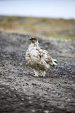 Male rock ptarmigan Stock Photography