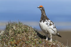 Male Rock ptarmigan which stands on the. Hill Stock Image