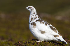 Male Rock Ptarmigan who moulting in winter dress autumn Royalty Free Stock Photo