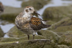 Male Rock sandpiper which stands on the stone Stock Photos