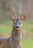 Male roe deer. Before the moult with impressive horns Royalty Free Stock Photo