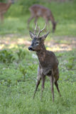 Male Roe Deer (Capreolus capreolus). Breeding season. The polygamous Roe Deer males clash over territory in early summer and mate in early fall royalty free stock photography