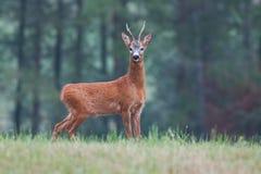 Male roe deer capreolus capreolus buck on meadow. stock image