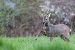 Male roe deer during a fight. Leg up and grass on the antlers stock photography