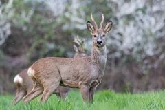 Male roe deer after a fight. Looking at the photographer stock photography