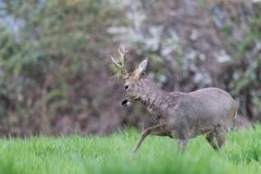 Male roe deer during a fight. Leg up and grass on the antlers royalty free stock images