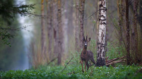 Male roe deer Royalty Free Stock Photography