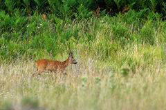 Male roe-deer in green vegetation Royalty Free Stock Photos