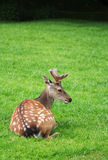 The male roe deer laying in the green grass Stock Image