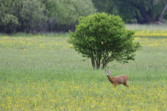 Male roe deer stock images