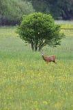 Male roe deer Stock Photos