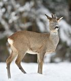 Male roe deer, Roebuck Royalty Free Stock Photography