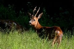 A male Roe Deer, Capreolus capreolus standing in a field. In late evening sun royalty free stock photos