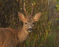 A male Roe Deer, Capreolus capreolus standing in a field looking at the camera