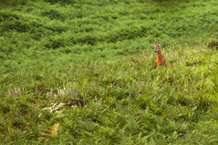 Male roe-deer in summer greenery Royalty Free Stock Images