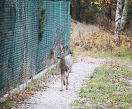 Male roe-deer on way home Royalty Free Stock Photo