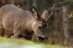 A male Roe Deer who have lost a horn, and eat on leaves from a bush royalty free stock photo