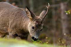 A male Roe Deer who have lost a horn, and eat on leaves from a bush royalty free stock photos