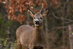 A male Roe Deer who have lost a horn and looking at the camera stock image