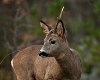 A male Roe Deer who have lost a horn stock image