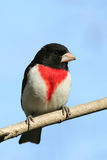 Male Rose-breasted Grosbeak Stock Images