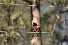 Male Rose breasted Grosbeak Royalty Free Stock Photography