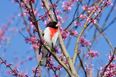 Male rose-breasted grosbeak. Rose-breasted grosbeak iperches in a redbud tree. tree is in bloom with pink and white flowers. background consists of shallow focus royalty free stock photography