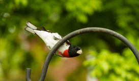 Male Rose-breasted Grosbeak Stock Image