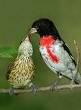 Male Rose-breasted Grosbeak Feeding Young Royalty Free Stock Images