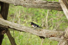 Male Rose breasted grosbeak on a fence. Stock Photography