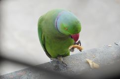 Male rose-ringed parakeet Indian parrot eating bread hold in claw royalty free stock photography