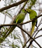Indian rose ringed parrots Stock Photography