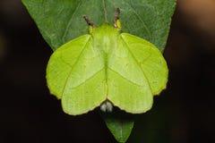 Male roseapple caterpillar moth Stock Photos