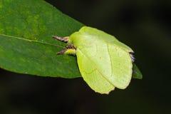 Male roseapple caterpillar moth Stock Images