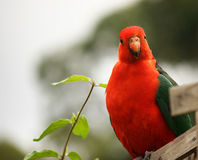 Male Australian King Parrot Royalty Free Stock Photo