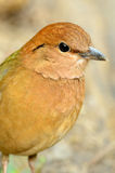Male rostig-naped pitta Royaltyfria Foton