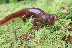 Male Rough-skinned Newt Stock Photo